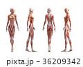 筋肉 解剖 女性のイラスト 36209342