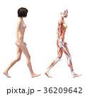 筋肉 人体 解剖のイラスト 36209642