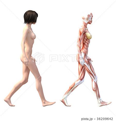 女性 解剖 筋肉 3DCG イラスト素材 36209642