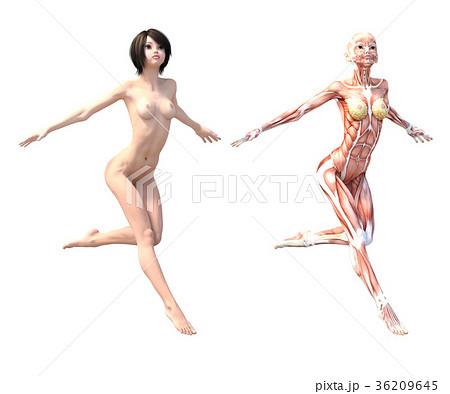 女性 解剖 筋肉 3DCG イラスト素材 36209645