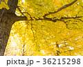 イチョウ 紅葉 イメージ素材 36215298