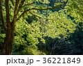 エコロジー 木 森林の写真 36221849