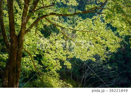 常緑樹、エコロジーイメージ 36221849