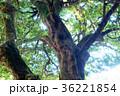 エコロジー 木 緑の写真 36221854
