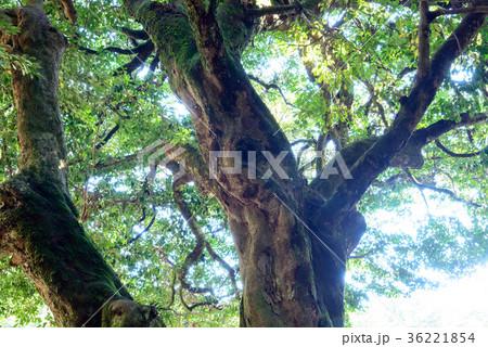 常緑樹、エコロジーイメージ 36221854