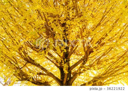 黄葉のイチョウ 36221922