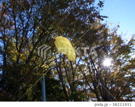 秋の陽差しと散りゆく葉 36221931