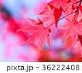 もみじ 秋 紅葉の写真 36222408