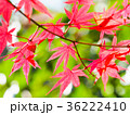 もみじ 秋 紅葉の写真 36222410