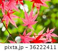 もみじ 秋 紅葉の写真 36222411