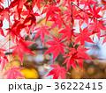 もみじ 秋 紅葉の写真 36222415