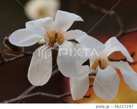 春のせせらぎに咲く白木蓮 36227297