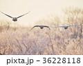樹氷を背景に群れで飛ぶハクチョウ(北海道) 36228118