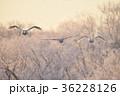 樹氷を背景に群れで飛ぶハクチョウ(北海道) 36228126