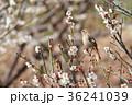 野鳥 ジョウビタキ メスの写真 36241039