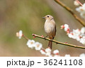 野鳥 ジョウビタキ メスの写真 36241108