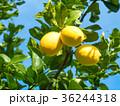 有機レモン 36244318