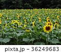 ひまわり 植物 花畑の写真 36249683