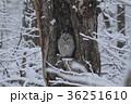 野鳥 鳥 フクロウの写真 36251610