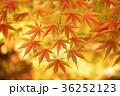 紅葉 もみじ 秋の写真 36252123