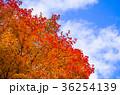 紅葉 楓 葉の写真 36254139