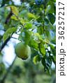 花梨 カリン フルーツの写真 36257217