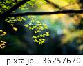 紅葉 秋 葉の写真 36257670