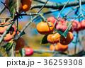 果実 柿 果物の写真 36259308