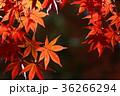 紅葉 楓 モミジの写真 36266294