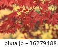 モミジ 紅葉 葉の写真 36279488