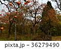 赤く熟した柿の実 36279490