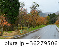 赤く熟した柿の実の道路 36279506