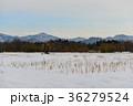 雪原に佇む柿の木 36279524