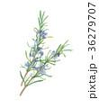 ローズマリー 植物 水彩画のイラスト 36279707