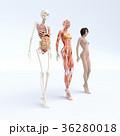 筋肉 骨格 解剖のイラスト 36280018