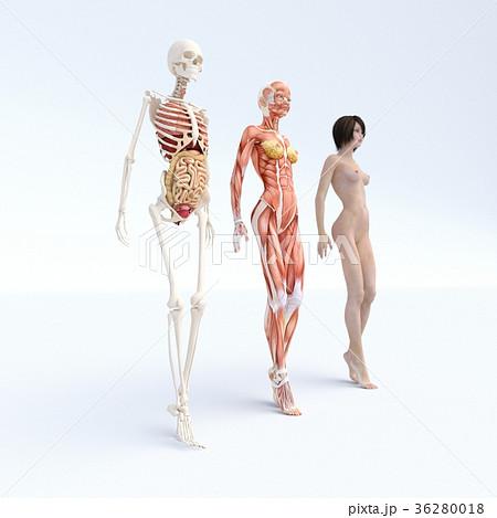 女性 解剖 筋肉 3DCG イラスト素材 36280018