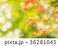 紅葉 楓 葉の写真 36281045