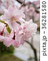 桜 サクラ 花の写真 36281580