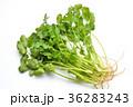 パクチー、香菜、タイ料理、エスニック料理、ハーブ。 36283243