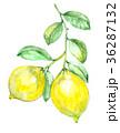 レモン 檸檬 水彩画のイラスト 36287132