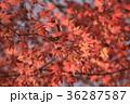 紅葉 もみじ カエデの写真 36287587