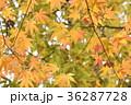 紅葉 もみじ カエデの写真 36287728