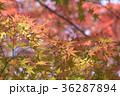 紅葉 もみじ カエデの写真 36287894