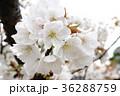 桜 花 大島桜の写真 36288759