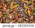 落葉 けやき 秋の写真 36293456