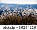 ススキ 初冬 晩秋の写真 36294126