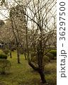 白梅 梅 植物の写真 36297500