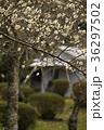 白梅 梅 植物の写真 36297502