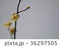 白梅 梅 花の写真 36297505