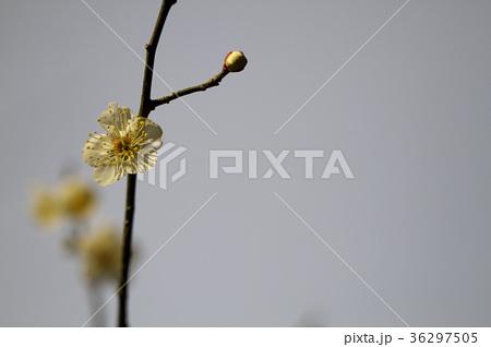 白梅の花 36297505